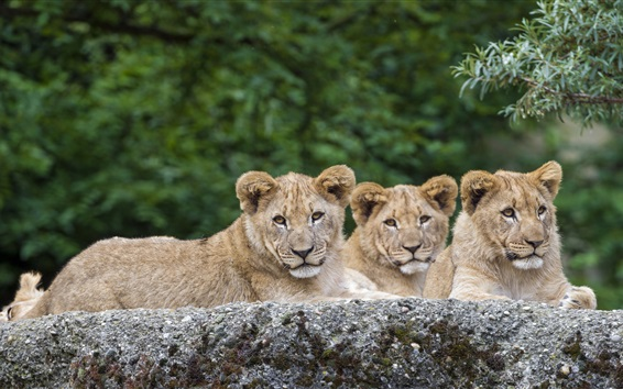 Wallpaper Three lions have a rest, animals photography