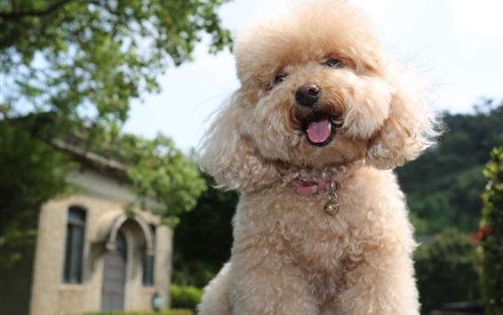 壁紙 トイプードル、かわいい子犬