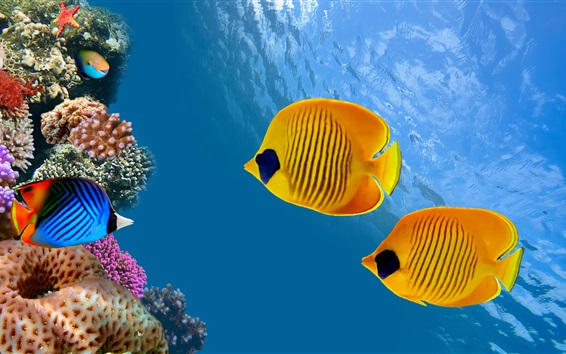 Fondos de pantalla peces tropicales, peces payaso, Isla del Coco, Costa Rica