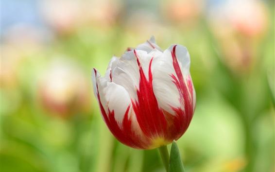 Papéis de Parede Tulip macro, pétalas brancas vermelhas