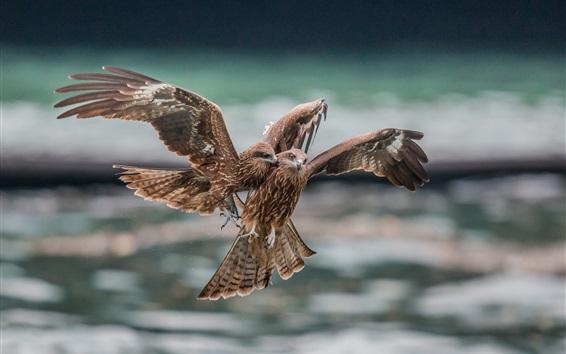 Fondos de pantalla Dos águilas, depredador, vuelo, pelea