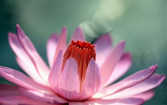 Wallpaper Water lily flower macro photography, pink petals