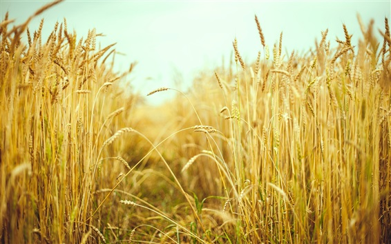 Wallpaper Wheat field, summer, macro photography