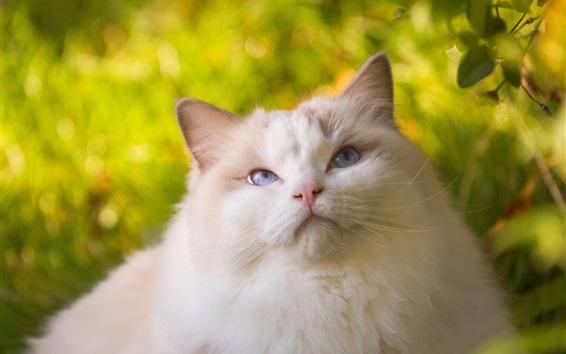 Papéis de Parede Gato branco, macio, olhos azuis