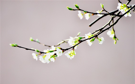 Papéis de Parede Flores brancas close-up, galhos, bokeh, primavera