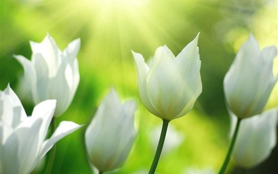 Обои Белые тюльпаны цветы весной