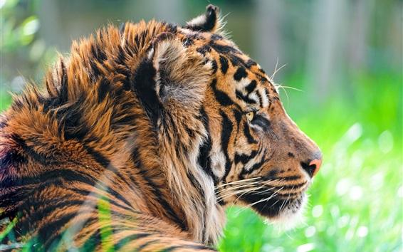 Fond d'écran Les animaux sauvages, tigre dans l'herbe