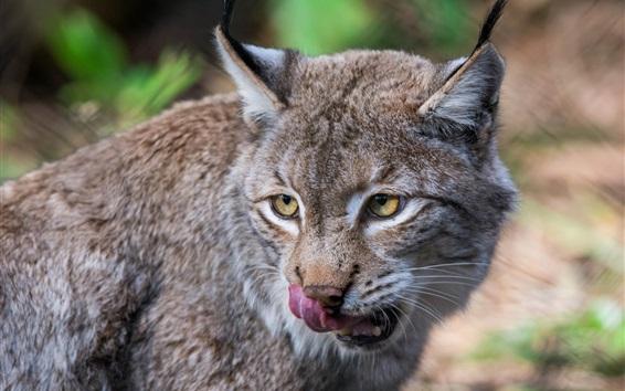 Papéis de Parede Gato selvagem, predador