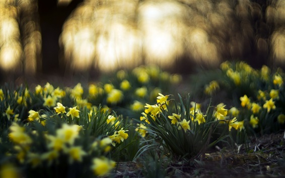 Papéis de Parede narcisos amarelos, jardim