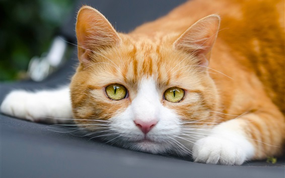 壁紙 黄色い目の猫の写真撮影
