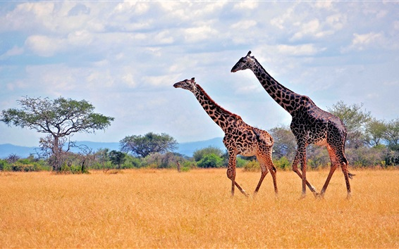 Wallpaper Zebras in African safari