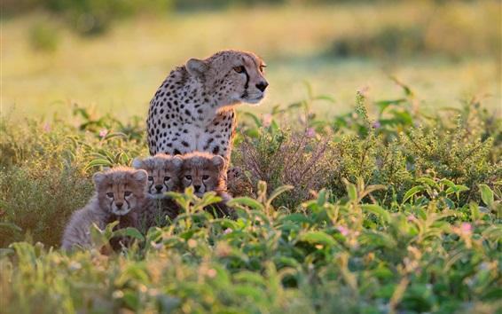 Papéis de Parede África, Tanzânia, chitas em arbustos, mãe e filhotes