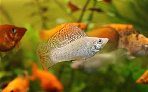 Wallpaper Aquarium, water, orange and white fish