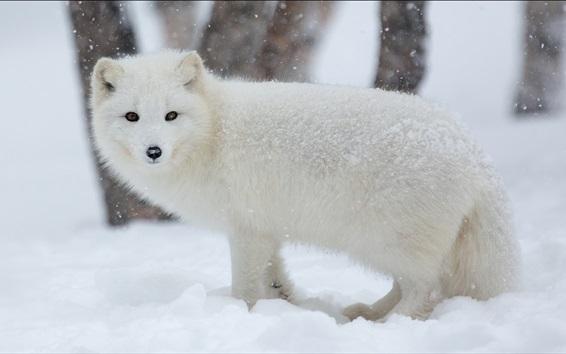 Fond d'écran renard arctique dans la neige l'hiver