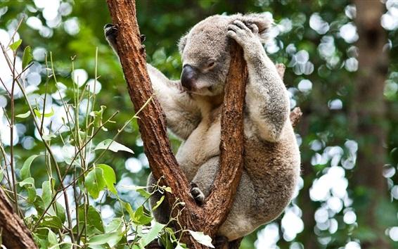 Обои Австралия, Коала спать в дерево, травоядные животные, лес