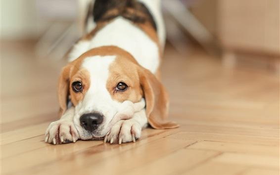 Wallpaper Beagle, dog, stretch