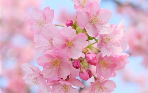 Wallpaper Beautiful pink cherry flowers, blurry, spring