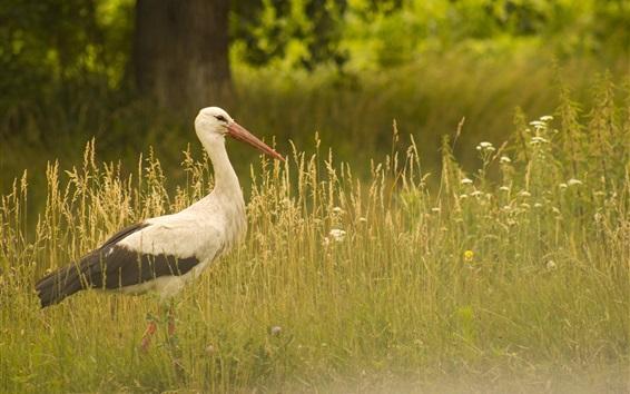 Papéis de Parede Pássaro close-up, caminhada cegonha na grama