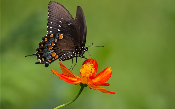 Wallpaper Black butterfly, orange color flower, zinnia