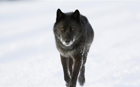 Wallpaper Black wolf in winter