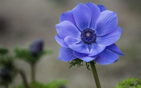 Wallpaper Blue flower close-up, anemone