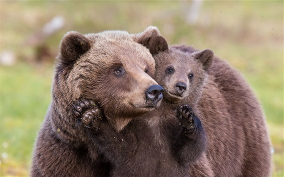 Wallpaper Brown bears, mother and cub