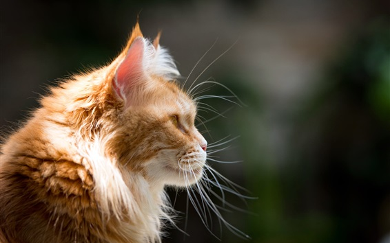 Wallpaper Cat side view, mustache, furry