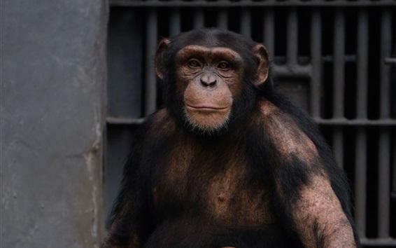 Wallpaper Chimpanzee in the zoo