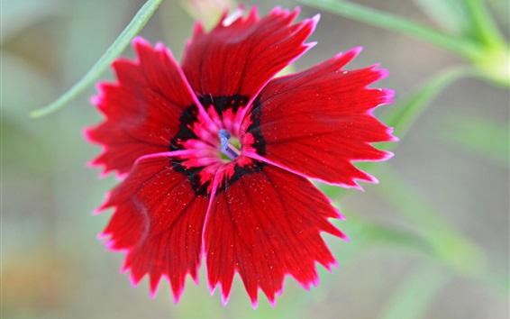 Fond d'écran carnation chinois, fleur rouge macro photographie