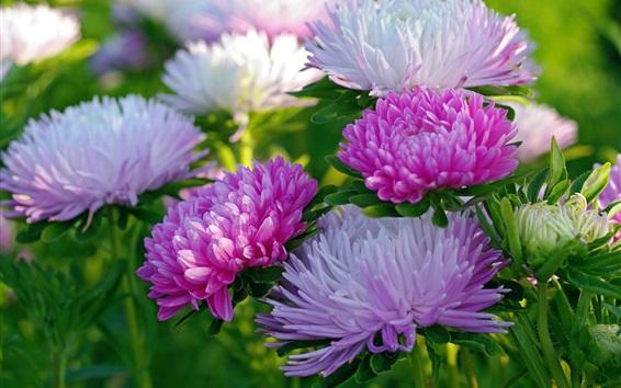 Fond d'écran Chrysanthemum close-up, blanc et rose