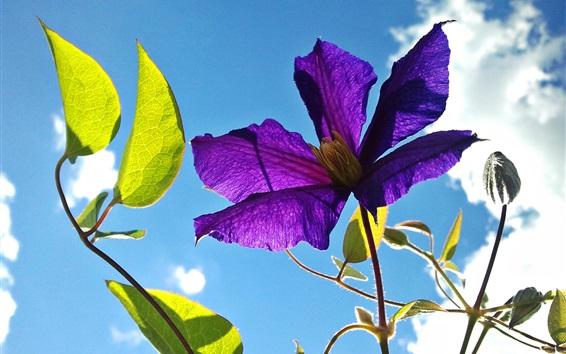 Wallpaper Clematis, purple flower, leaves, blue sky
