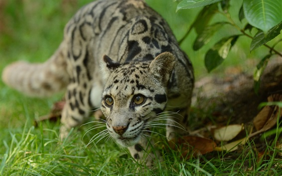 Wallpaper Clouded leopard, grass