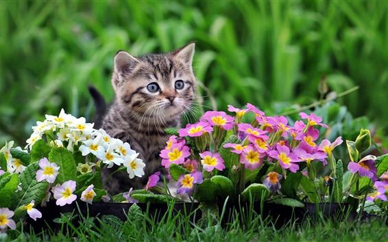 Обои Милый котенок, примула розовые и белые цветы