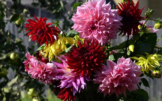Wallpaper Dahlias, red and pink flowers