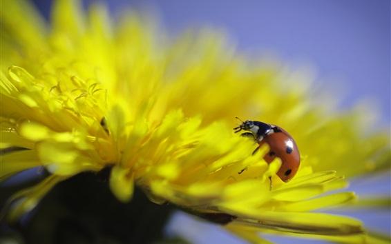 Fond d'écran Pissenlit fleur jaune, coccinelle, insecte