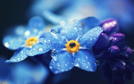 배경 화면 잊어-nots의 푸른 꽃 매크로 사진, 이슬