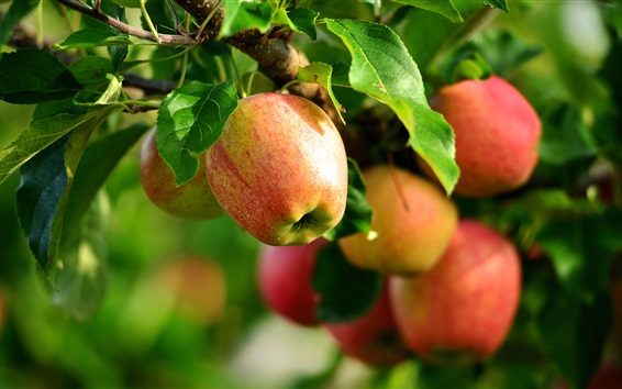 Wallpaper Fresh apples, tree, twigs, leaves