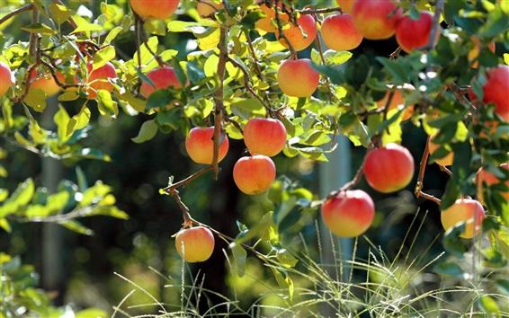 Обои Фруктовый сад, яблоня, свежие яблоки