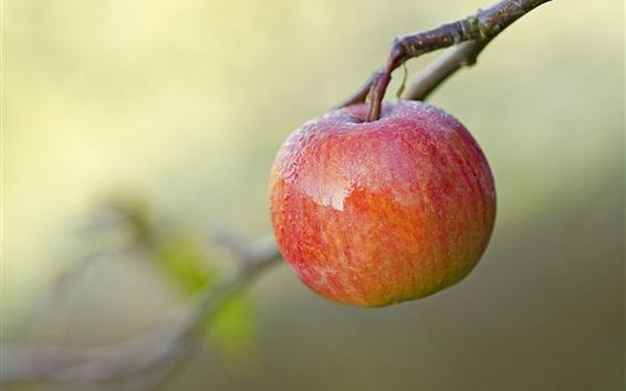 Fond d'écran brindilles de fruits, pomme rouge, rosée