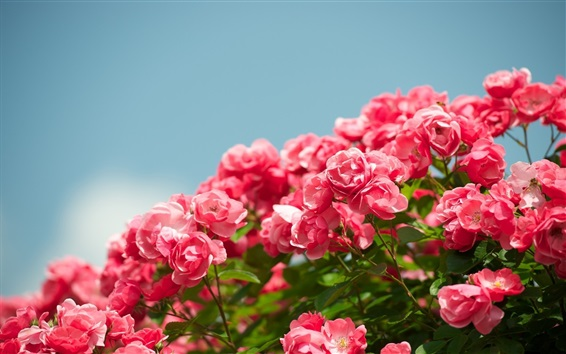 Wallpaper Garden flowers, beautiful red rose