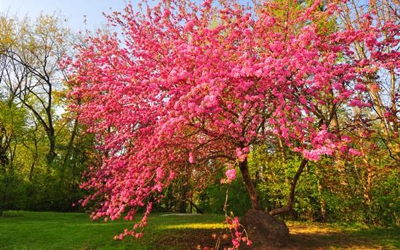 Обои Сад, розовые цветы дерево
