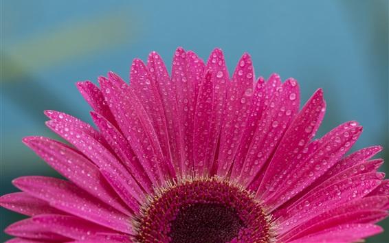 Papéis de Parede Gerbera flor fotografia macro, pétalas cor de rosa, gotas de água
