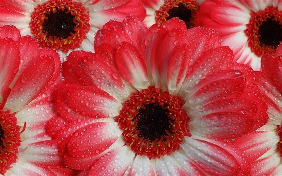 Wallpaper Gerberas macro photography, water droplets, white red petals