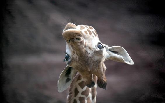 Обои Жираф смотреть вверх, лицо