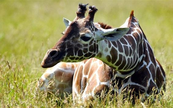 Wallpaper Giraffe sit in grass