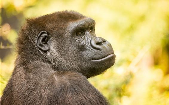 Papéis de Parede Gorilla olhar para trás