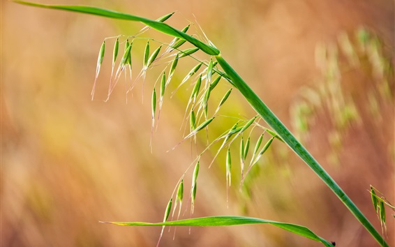 Wallpaper Grass close-up, seed, spikelets, leaves
