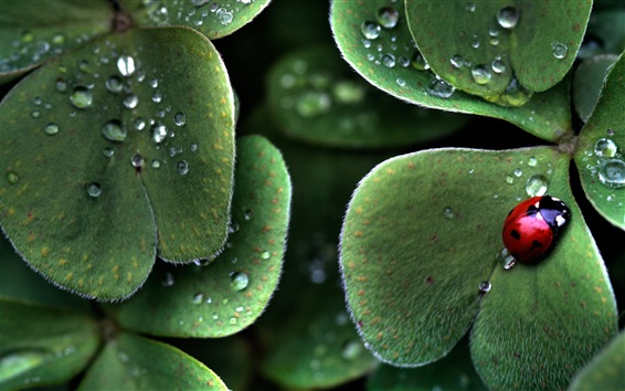 Wallpaper Green leaves, beetle, dew