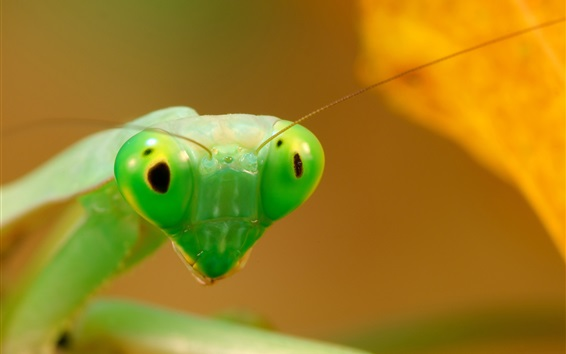 Wallpaper Green mantis macro photography