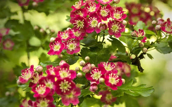 Fondos de pantalla floración espino blanco, flores rojas, primavera